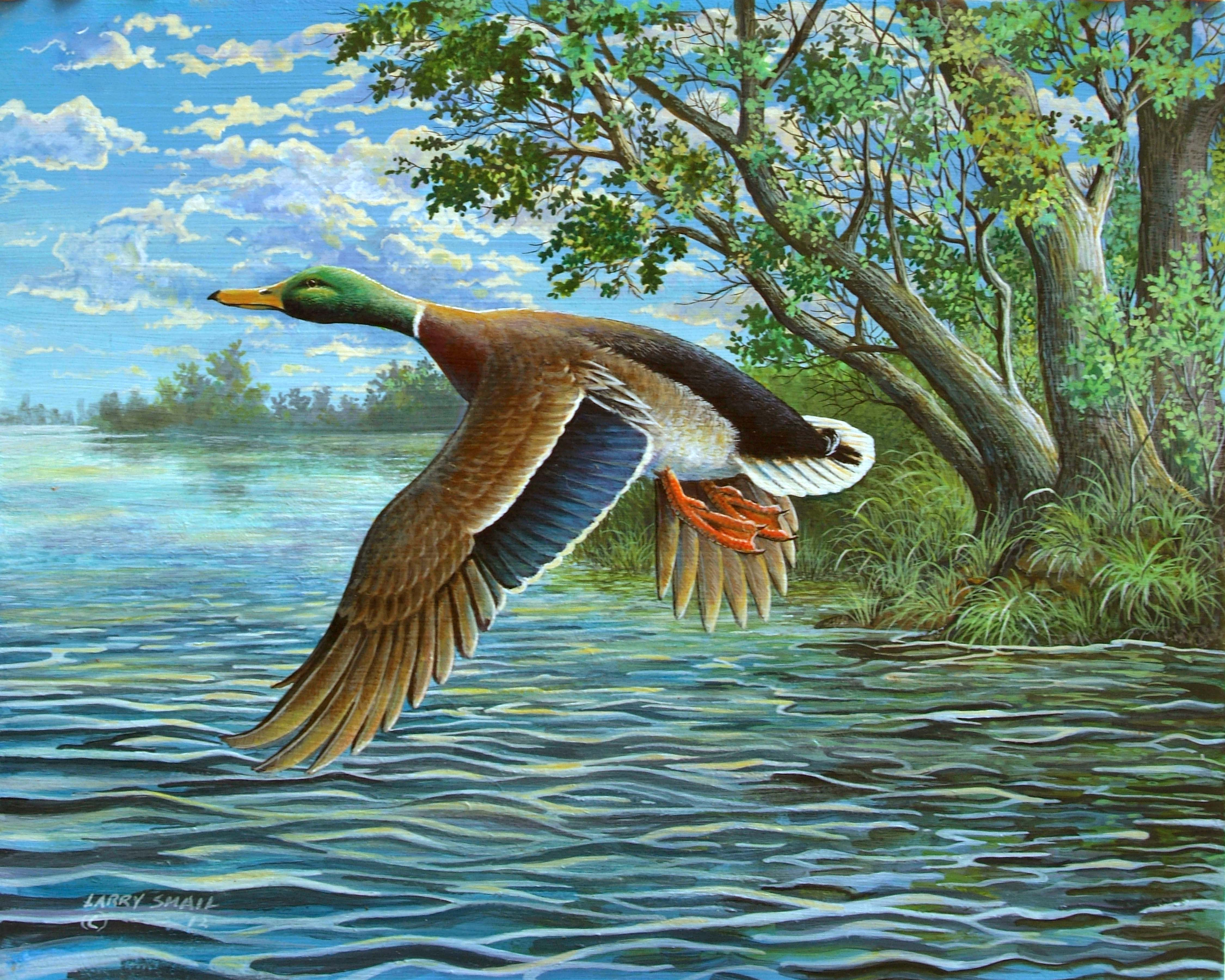 Flying Duck Painting The Mallard duck is a most