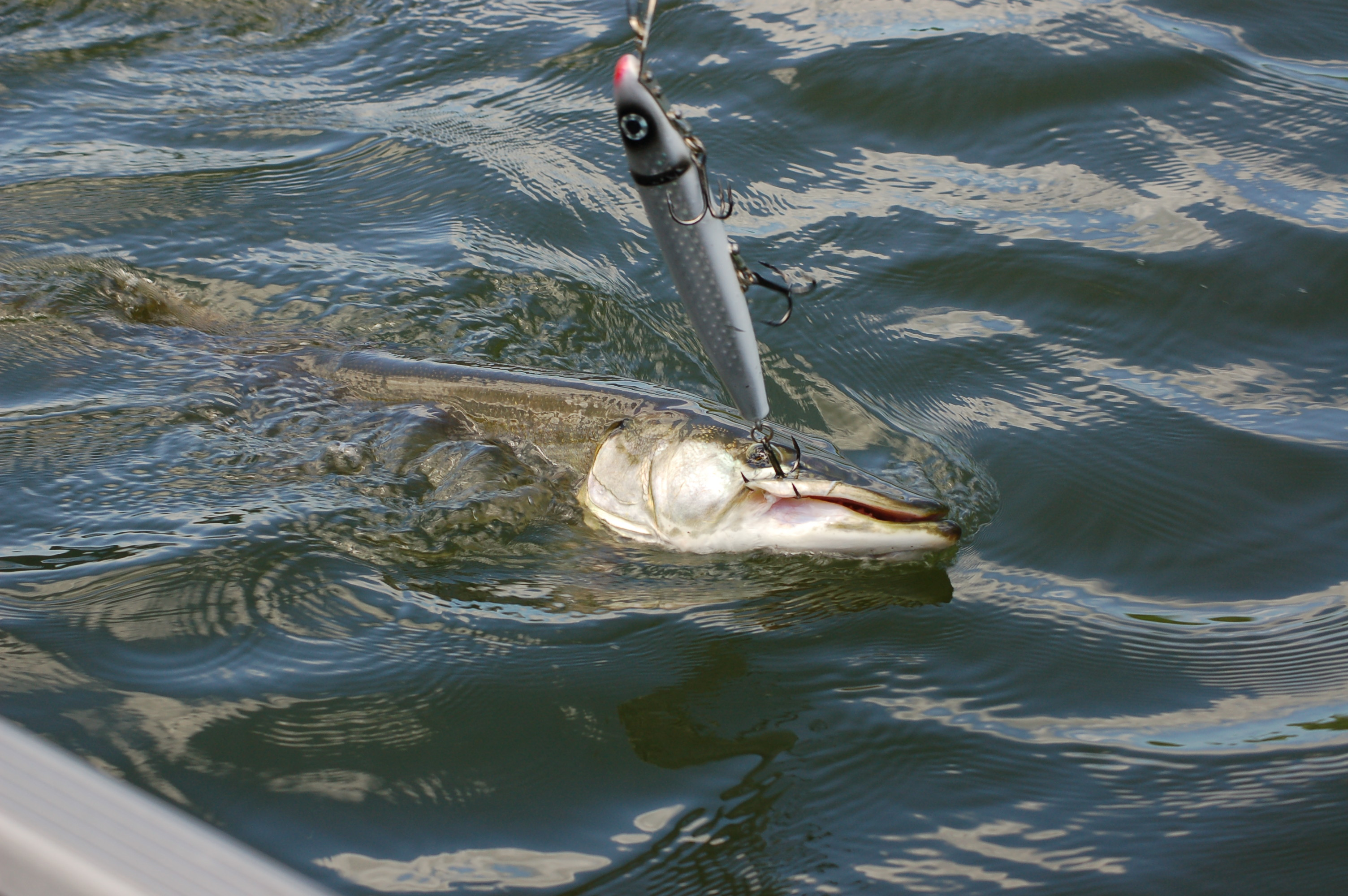 Muskie fishing larry a smail 39 s blog for Muskie fish pictures