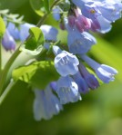 Virginia Bluebells...a native wildflower.