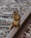Fox Squirrel on rail