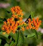 Butterfly Weed (Flower)