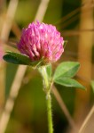 Red (Purple) Clover