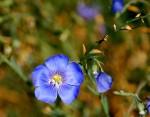 Blue Prairie Flax