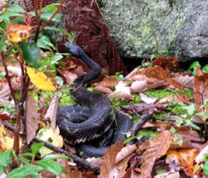 Black-phased Timber rattlesnake