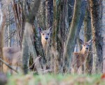 Doe and last year's fawn