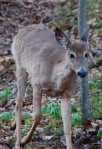 This deer almost walked into me!