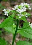Garlic Mustard- a non-native and invasive flower.