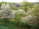 Dogwoods in bloom.