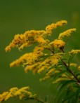 A Goldenrod