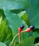 Sassafras seeds/berries
