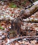 Old beaver sign