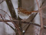 A Thrush in February???
