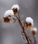 Thistles blanketed in snow.