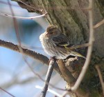 Pine Siskin...note yellow on wings.