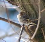Pine Siskin...note yellow on wings.
