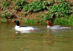 Mergansers on Cowanshannock Creek.