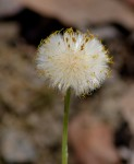 Coltsfoot going to seed.