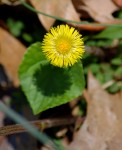 Coltsfoot in bloom.