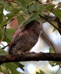 The little Screech Owls left the owl box this week, too.