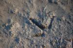 Pheasant track