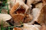 Chestnut burr!