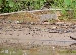 Fox Squirrel running after Frank's lure hit the water near it.