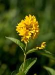 Garden Yellow Loosestrife