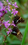 """Skippers"" on Purple Loosestrife"