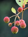 Buttonbush going to seed.