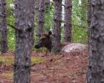 Bedded cow elk.