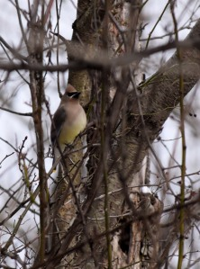Cedar Waxwing (Many Robins were with them.)