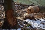 Beaver sign