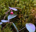 Teaberry in moss